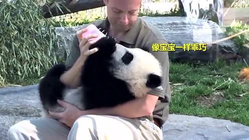 给熊猫喂奶