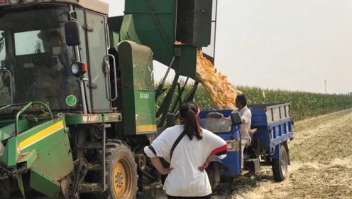 山东当地玉米现在啥价格?阿红2.6亩玉米地里出售,能买多少钱