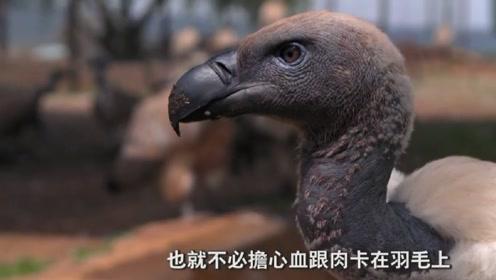 为什么秃鹫吃腐肉不会生病中毒 没有嗅觉的秃鹫到底有强在哪里