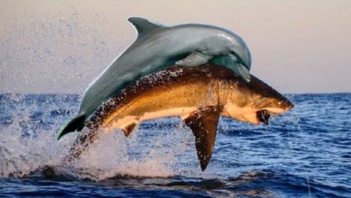 为何鲨鱼什么都敢吃,却不敢吃海豚?鲨鱼:我实在打不过它
