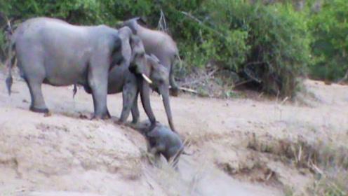 母象有意锻炼小象爬坡,还不让别的大象帮忙,一起来看看!