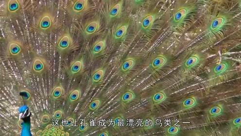 """白孔雀和蓝孔雀为争配偶打架,只因自己的尾羽""""不够漂亮"""""""