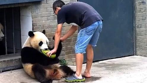 熊猫宝宝和饲养员抢拖鞋,接下来熊猫的举动,让人瞬间笑喷