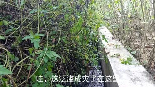 在农村一条,看不起眼的小水沟,竟然藏有么多野货,黑压压的一片
