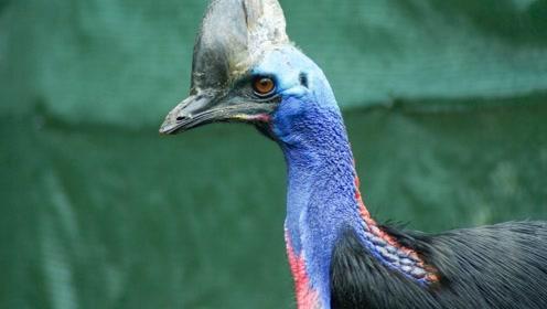 世界上最凶残的鸟,爪子如匕首能杀死牛,全球不足一千只濒临灭绝