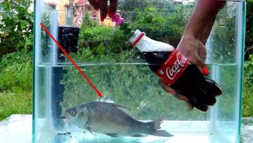 老外作死将曼妥思和可乐放进水里,鱼儿会怎么样,会疯狂么