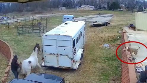 比特犬咬断铁链袭击白马,结果被一脚踢中脑门,这下估计瘫痪了