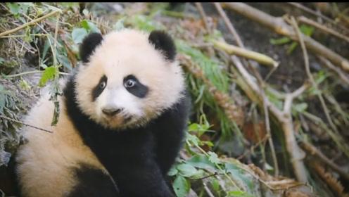 憨态可掬的大熊猫,去世之后尸体如何处理,其中也有不少门道