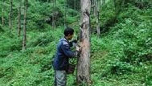 """农村""""会咬人""""的树,一碰就过敏,但如今种子20元一斤成稀罕货"""