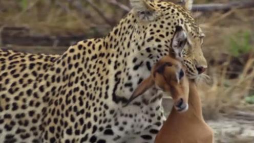 自然界的速度担当,猎豹妈妈快速擒获小羚羊,小猎豹独享美味大餐