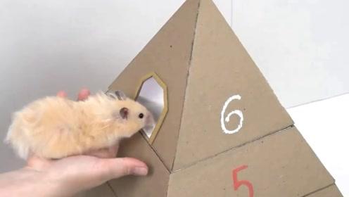 老外为自家仓鼠打造金字塔迷宫,一层层圈套,仓鼠能逃出来吗?