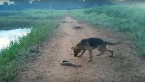 德牧犬在岸边发现一条电鳗,一口咬下去被电得嗷嗷叫,场面太逗了