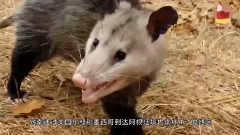 世界上最大的老鼠身高1.1米,堪比3岁儿童!猫见了也得叫大哥