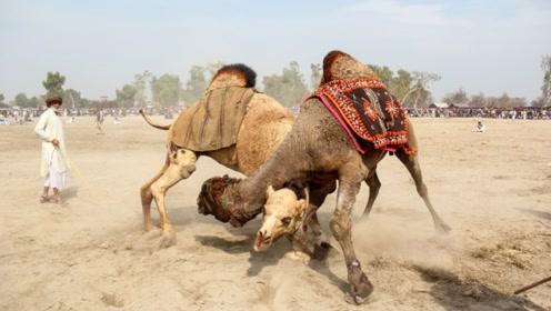 骆驼之间争夺配偶权,决斗时只攻击这个位置,真的是太恶毒了!