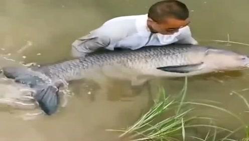太过瘾了,钓了一条一百多斤的大青鱼,这下酒菜硬不硬?