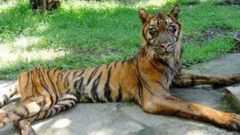 """最""""残忍""""的动物园,让森林之王受尽虐待,最后只剩皮包骨头!"""