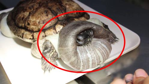 男子养了一只乌龟,饲养5年后他傻眼了,越长越离谱!