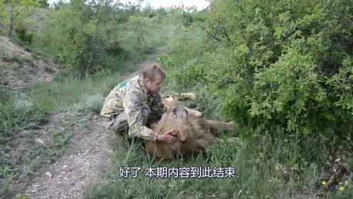 打了全麻刚刚醒的狮子,躺在地上还没适应过来
