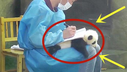 """萌萌的熊猫变成""""桌垫"""",看到后直接融化了,真羡慕饲养员!"""