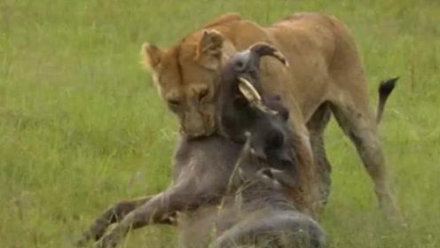 小狮子饿到昏厥,母狮子急忙捕猎,倒霉野猪正巧撞上枪口,悲剧了