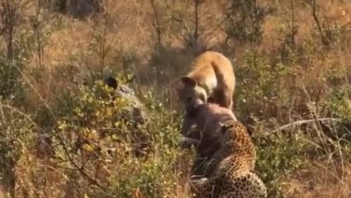 鬣狗跟豹子抢食物,豹子生气后暴怒,狂撕鬣狗