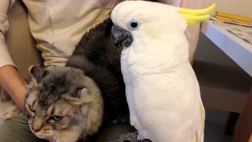 鹦鹉跟猫咪争宠,大战一触即发,让人瑟瑟发抖