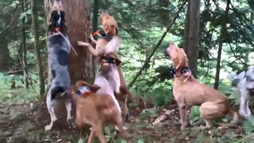 猎犬围捕猎物,狗狗围住一棵树不愿前进,朝树上仔细一看不淡定了