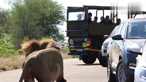 男子作死下车看狮子,不料同伴开车就跑,镜头拍下全过程