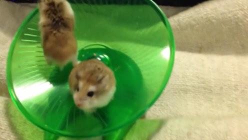 """两只小仓鼠玩轮盘,其中一只突然""""发疯"""",另一只却倒大霉了"""