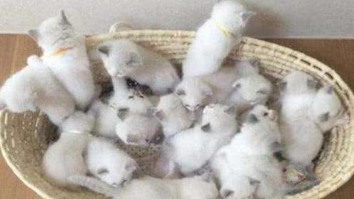 主人养的布偶猫生了19只小猫,总共价值30万,网友:赚大发了!
