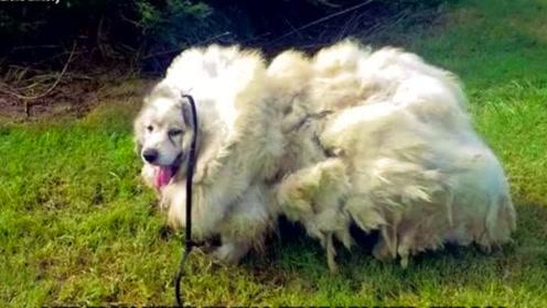 狗狗被主人忽视七年,它看起来像一只羊
