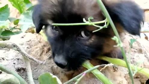 萌宠 乡下小土狗的快乐生活,有时候人活着还不人一条狗!