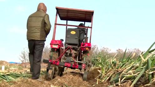农村大叔收获大葱嫌太累,自制大葱收获机,省时省力1天能收200亩