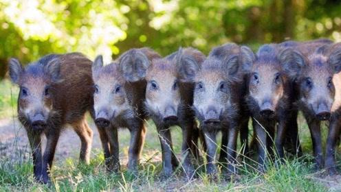 美国地区野猪遍地都是,为啥自愿损失10亿,也不吃野猪肉