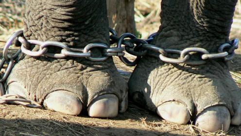 大象被拴上铁链50年,被人类救出后,做出的事让人意想不到!