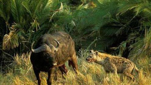 野牛误闯鬣狗领地,惨遭鬣狗疯狂掏肛,痛的直接瘫倒在地!