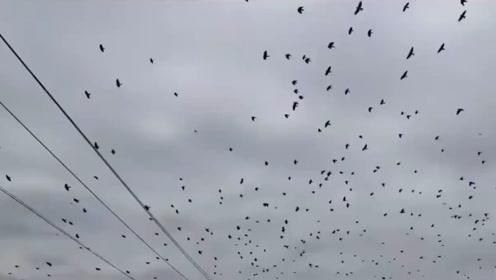 北京延庆:鸟群盘旋空中 密密麻麻遮天盖日