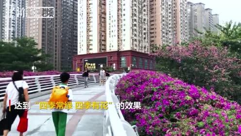 天桥绿化各色簕杜鹃争相绽放为广州城披上盛装