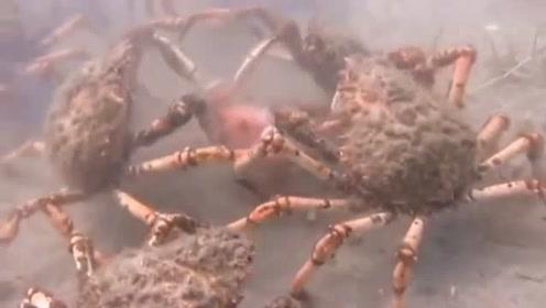 章鱼误闯巨型螃蟹地盘 惨遭围攻被吞肚