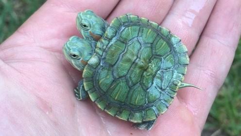 双头乌龟见过吗?来感受一下!
