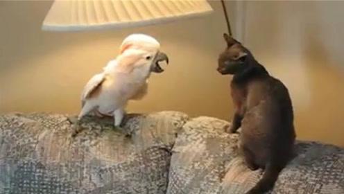 猫咪和鹦鹉青梅竹马,从小就相爱相杀,看到这一幕,网友都笑哭了