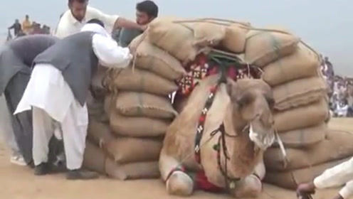 """身上若无千斤担,谁拿生命赌明天,骆驼:""""我太难了"""""""