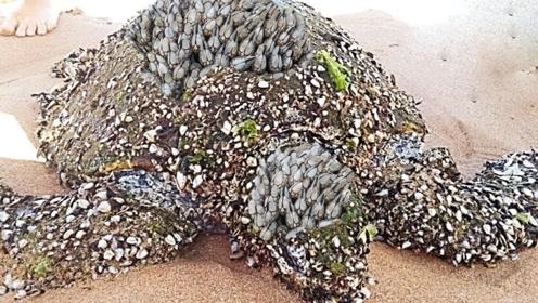 """海龟贝壳是""""它""""最喜欢的地方,只要被寄居,只能慢慢等死"""