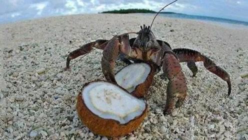 """世界上最""""聪明""""的螃蟹,钳子一敲就能轻松打开椰子壳,不过可看不可吃!"""