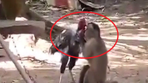 调皮猴子一把抓住公鸡,不由分说一顿猛亲,下一幕让人没想到