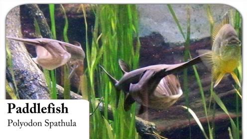 养殖30年都不会死的鸭嘴鱼,骨头都能全吃完,这是什么神仙鱼?