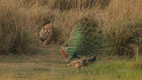 孔雀开屏本想吸引异性,可没想到引来一头老虎,最后还好虎口逃生
