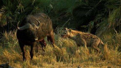 鬣狗偷袭野牛,野牛小瞧了鬣狗的实力,反应过来已经站不起来了