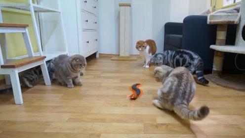 """铲屎官整蛊猫咪,买来了一条大""""蜈蚣"""",对峙的场面看了就想笑!"""