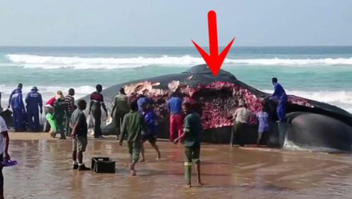 沙滩上突然出现几十吨重的鲸鱼,村民赶来割肉,场面太壮观了